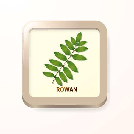 rowan: Rowan leaf