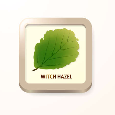 마녀 개암 나무 잎