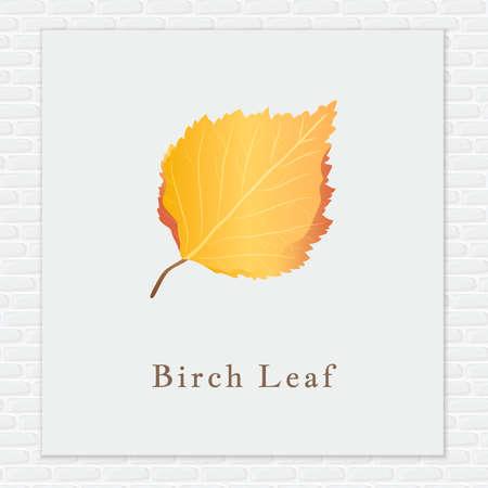 betula pendula: Birch leaf