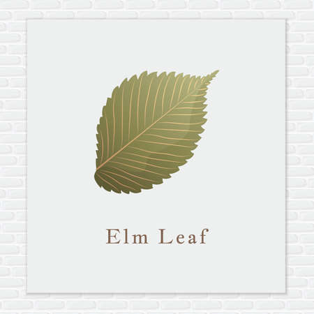 elm: Elm leaf