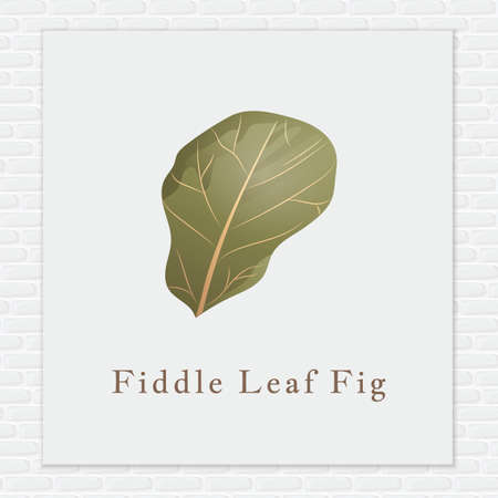 fig: Fiddle leaf fig