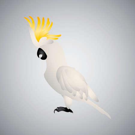 and diurnal: Cockatoo Illustration