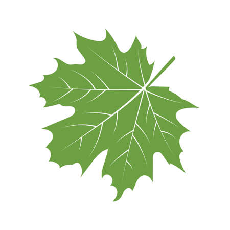 A maple leaf illustration. Illustration