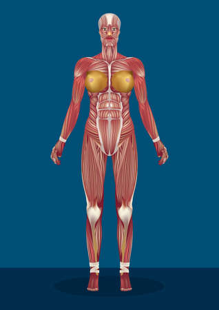 female human body muscles Illustration