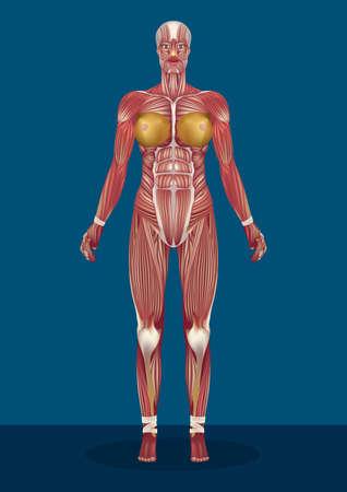 vrouwelijke menselijk lichaamsspieren