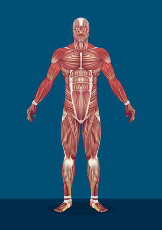 male human body muscles