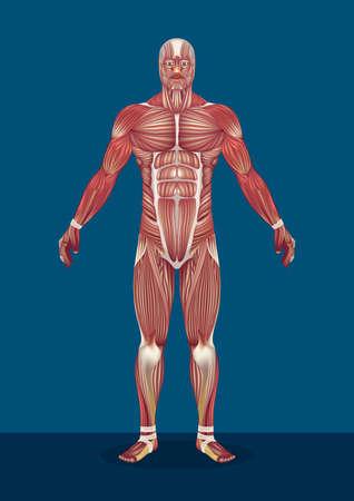 mannelijke menselijk lichaamsspieren