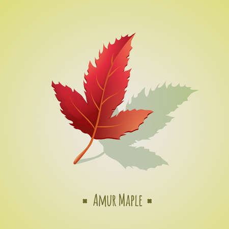 amur: amur maple leaf Illustration