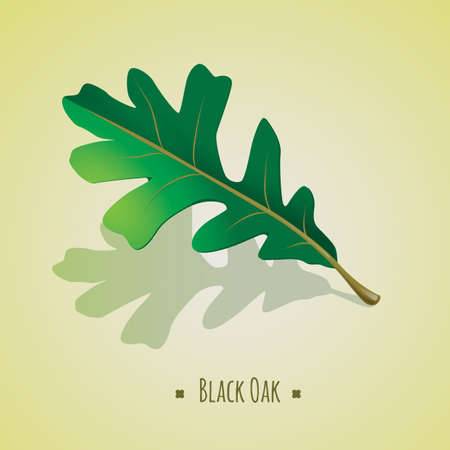 quercus: black oak leaf Illustration