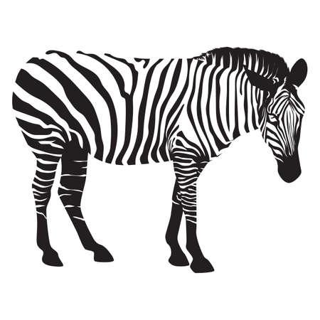 herbivorous animals: zebra