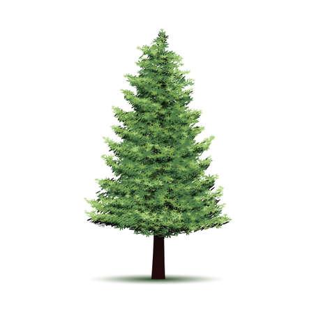 conifers: tree