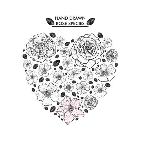 species: hand drawn rose species collection