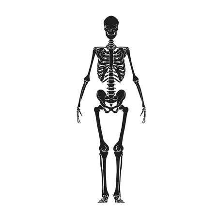 skeletons: human skeleton Illustration