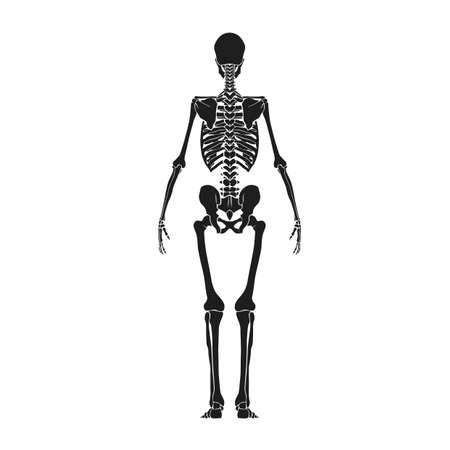 back view: back view of human skeleton