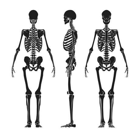 backview: human skeleton Illustration