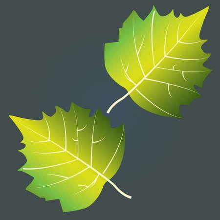 aspen leaf: aspen leaf