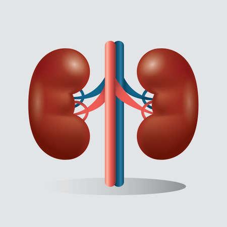 riñones humanos