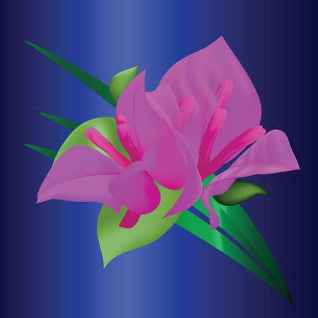 bougainvillea: bougainvillea Illustration