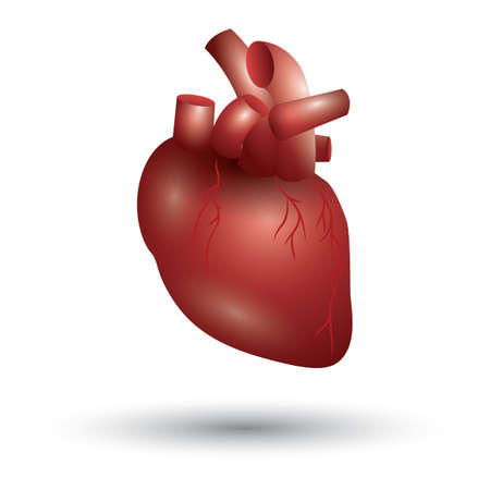 heart valves: human heart