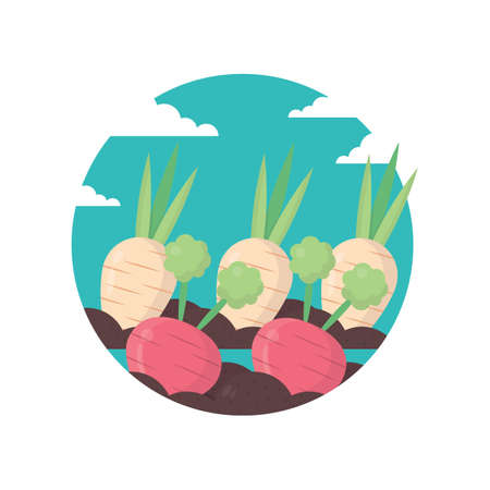 radish: radish and beetroot crops