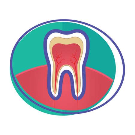 dental pulp: tooth