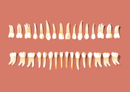 canines: types of tooth