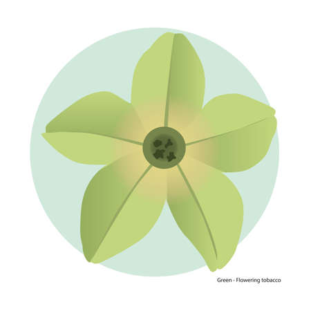 tobacco: green flowering tobacco Illustration
