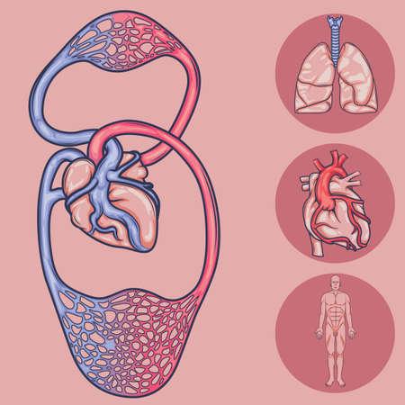 vascular: human body system