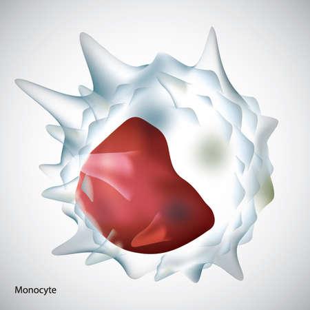 leukocyte: monocyte