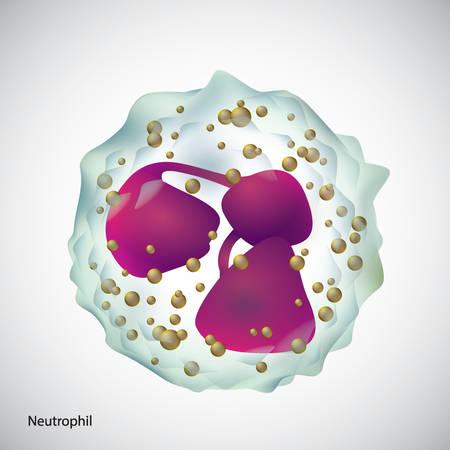 A neutrophil illustration. Illusztráció