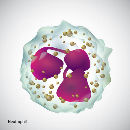 A neutrophil illustration. Illustration