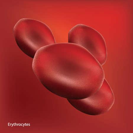 erythrocytes: erythrocytes