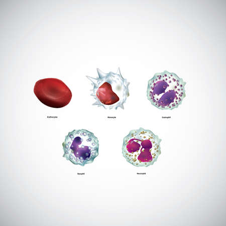 basophil: blood cells