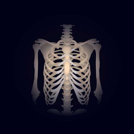 Caja torácica humana Ilustración de vector