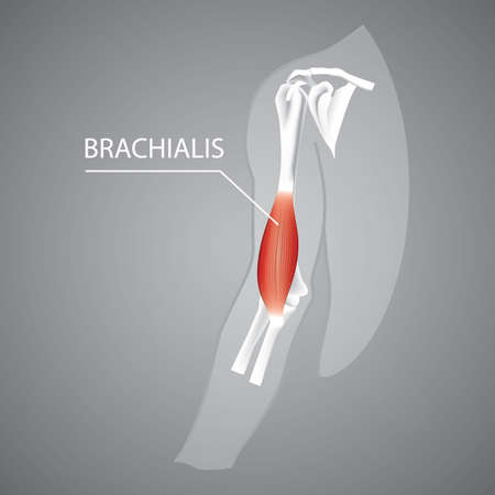 A human brachialis illustration. Illustration
