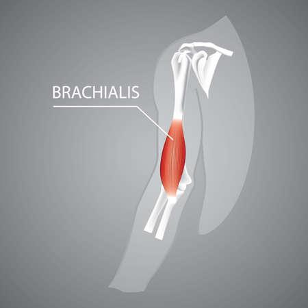 Una ilustración humana brachialis. Foto de archivo - 81486019