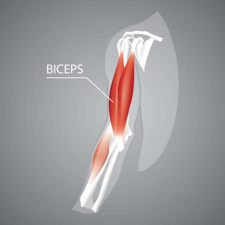 Una ilustración de bíceps humanos. Foto de archivo - 81486023