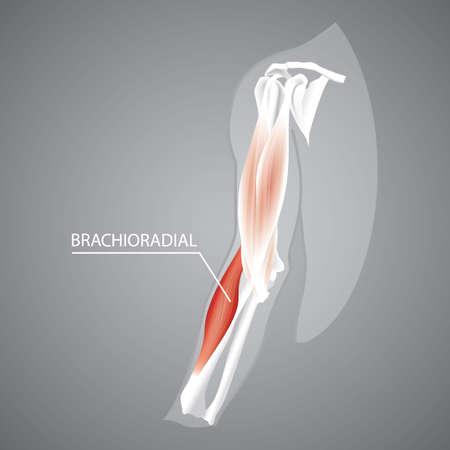 人間の brachioradial の図。  イラスト・ベクター素材