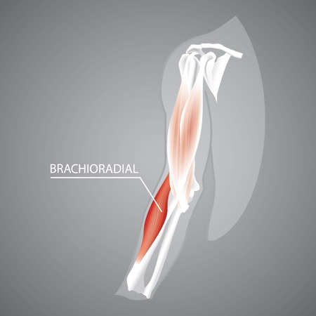 A human brachioradial illustration.