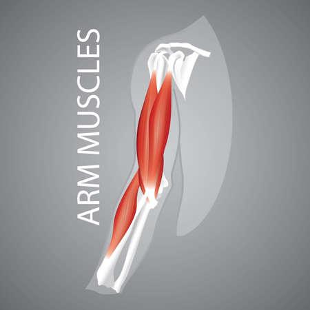Una ilustración de los músculos del brazo humano. Foto de archivo - 81486033