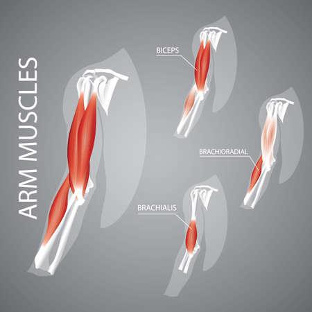 人間の腕の筋肉の図。  イラスト・ベクター素材