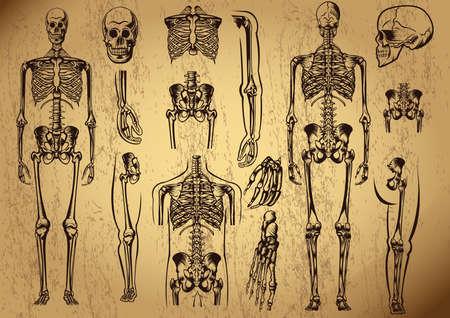 human skeleton Ilustracja
