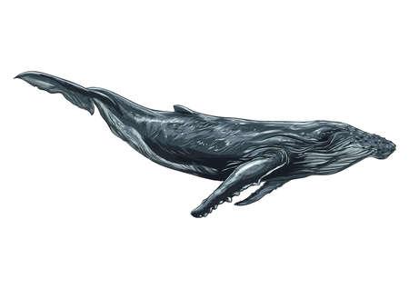 クジラ  イラスト・ベクター素材