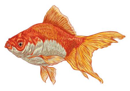 goldfish Иллюстрация