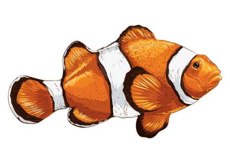 anemonefish: clownfish Illustration
