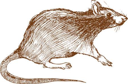 rat Imagens - 79169859