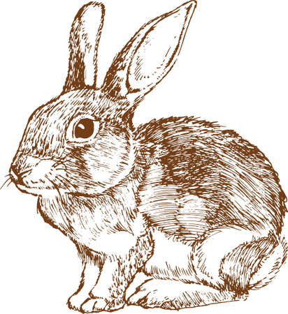 ウサギは白い背景をスケッチします。