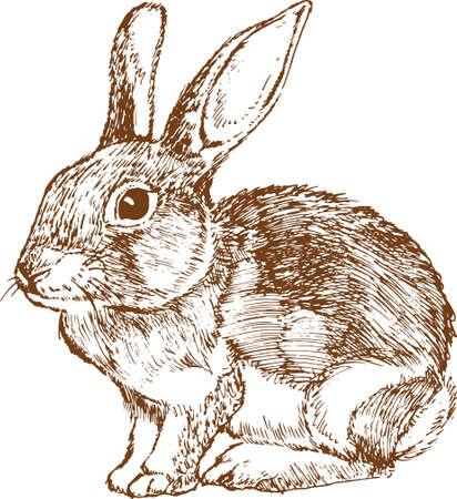 Rabbit sketch on white background
