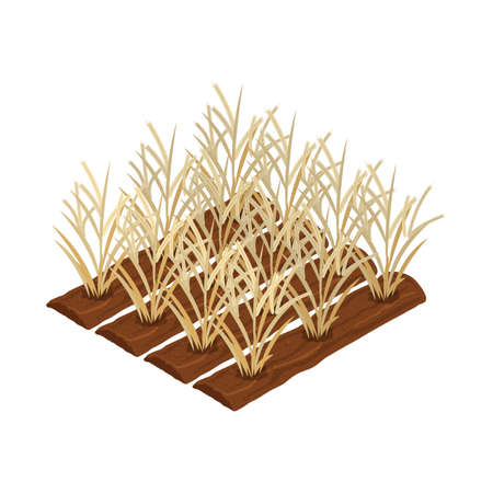 wheat plantation