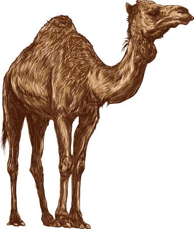 camel Ilustrace